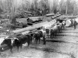 Oxen Pulling Logs